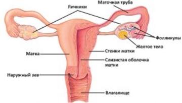 Показывает строение вагины, приеме
